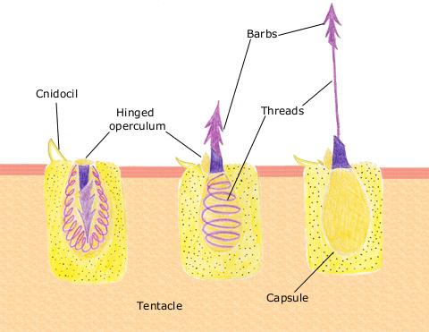 Nematocyst_discharge