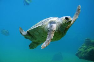 Scuba diving with sea turtles