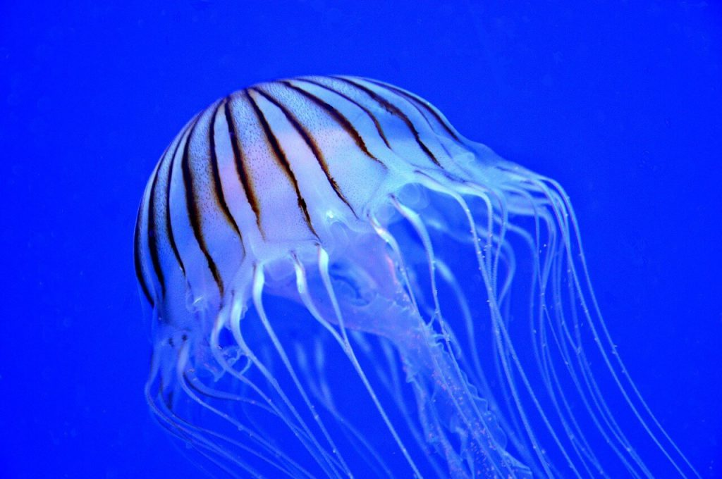 Jellyfish-Stingers