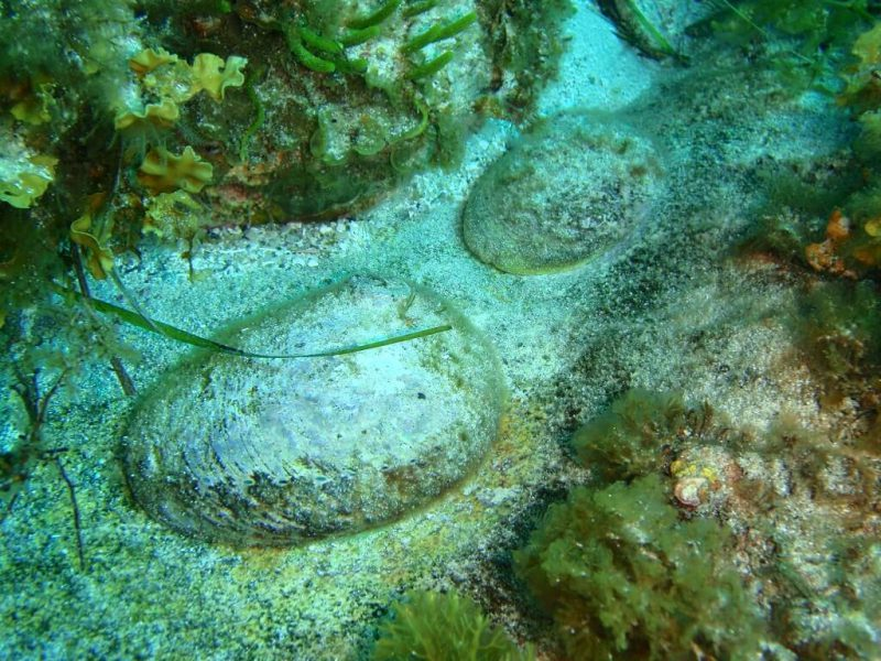 Abalone underwater